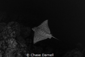 Flying with a Spotted Eagle Ray! by Chase Darnell
